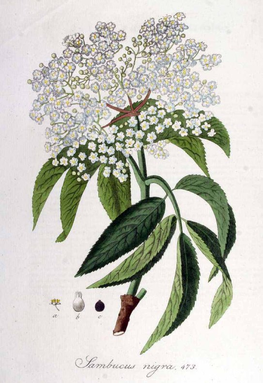 An old rendering of Sambucus nigra, a close European relative to the American Elder