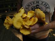 Foraging for chantarelles