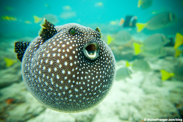 Guineafowl puffer fish madhupa maypop for Puffer fish images