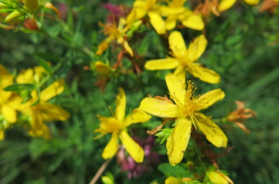 st john's wort close up max patch july 2017