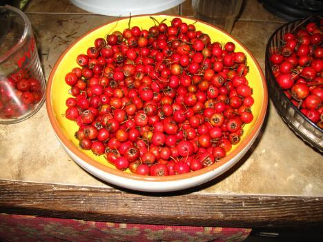 Hawthorn berry harvest, Fall 2011