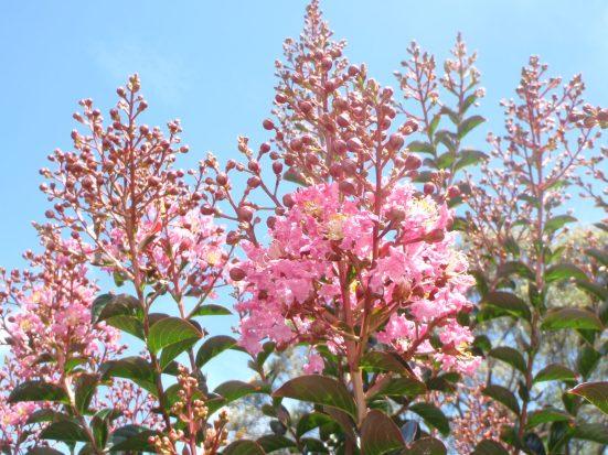 Crepe myrtle blooming...