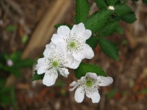 Blackberry in bloom