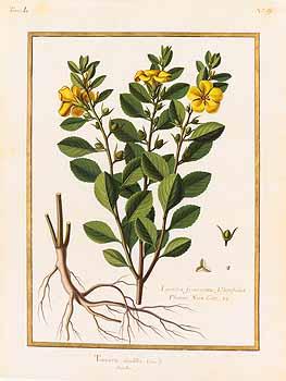 T. diffusa, lithograph