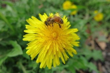 Honey bees love dandelion!