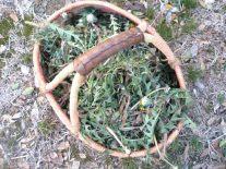 Dandelion leaf and root harvest