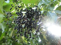 Elderberry sighting while kayaking