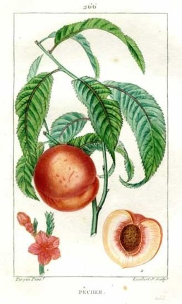 Peach, lithograph