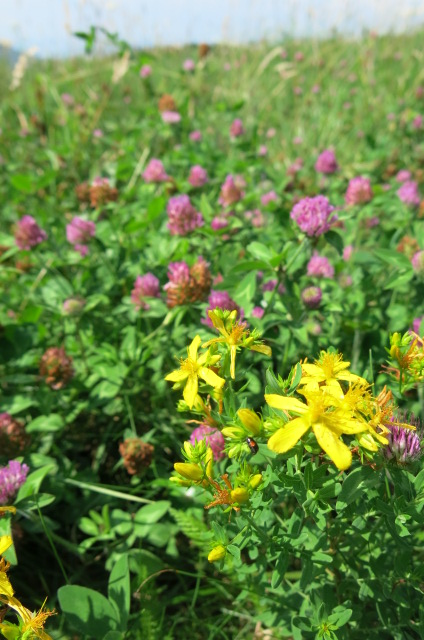 st j wort and red clover max patch july 2017