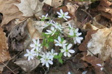 Some species of hepatica...
