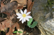 Bloodroot beauty...
