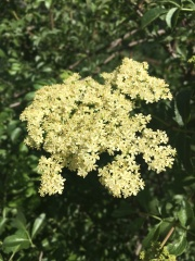 elder in bloom