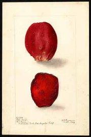 Prickly pear fruits (tunas), watercolor