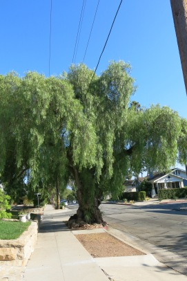 great grandfather pepper tree