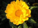 Calendula in bloom!