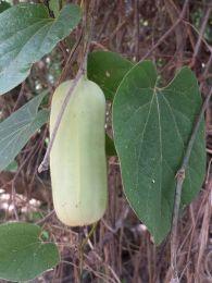 Aristilochia seed pod