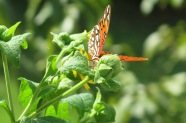Gulf fritillary exploring the bear's foot plant growing in my back yard at my old place...