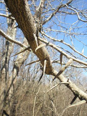 Honey locust thorny branches