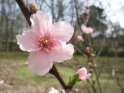 One of the peach trees I started from seed that I planted in my backyard in Mississippi... I planted it right by my bedroom window so that I could see the blooms in early Spring <3