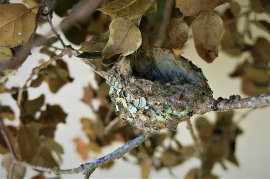 sept 8 abandoned hummingbird nest fallen coast live oak branch rocky nook